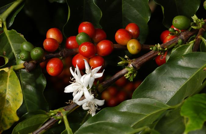 El fruto del cafeto