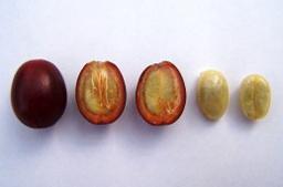 El fruto del café y su semilla