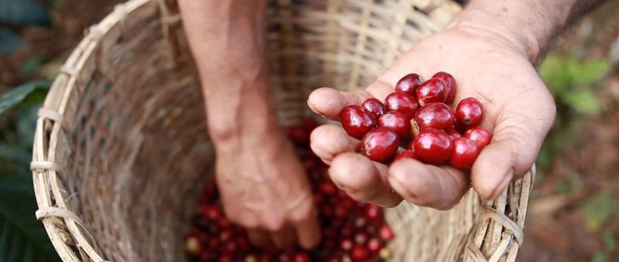 Qué es el café de especialidad - Cerezas rojas fruto de la planta del café